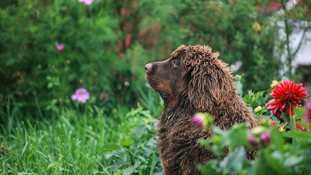 Ein Tibetmastiff