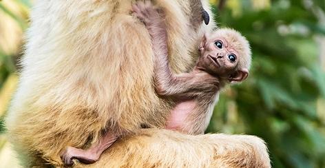 Gibbon-Baby im Tiergarten Schönbrunn