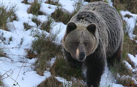 Braunbär im Tatra Nationalpark, Polen