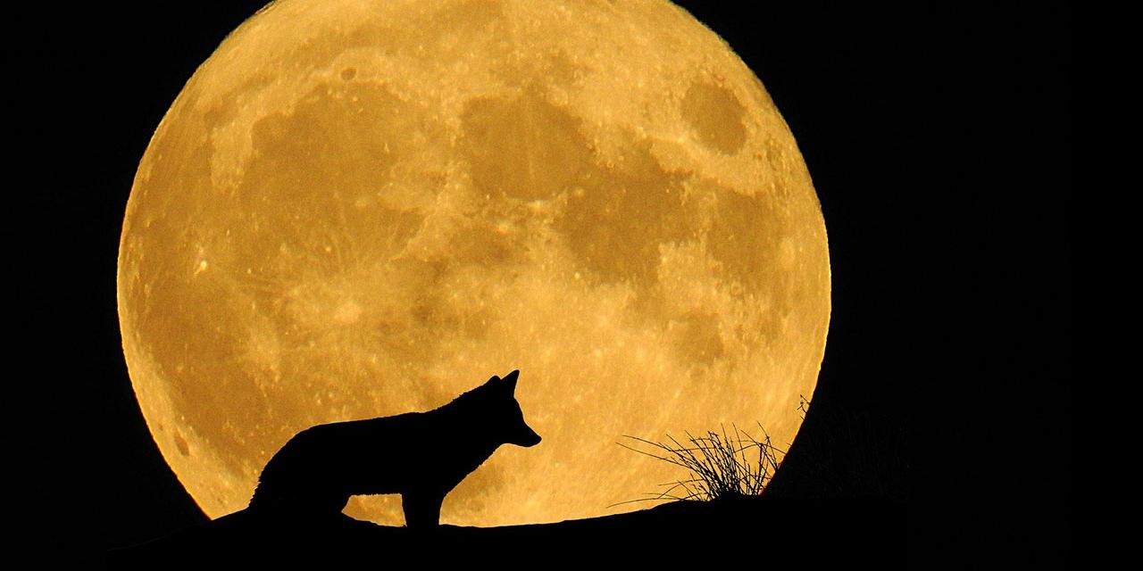 Wolf-Silhouette vor einem Vollmond