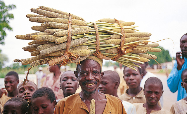 Afrikanische Bauern bei der Perlhirseernte