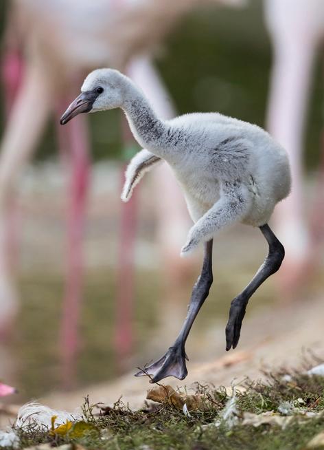 Nachwuchs bei den Rosa Flamingos in Schönbrunn