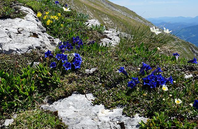 Der Clusius-Enzian (echter Alpenenzian) ist durch den Klimawandel bedroht