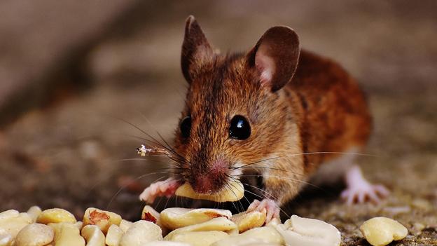 Maus isst Erdnüsse