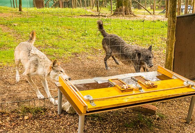 Zwei Wölfe bei der Zusammenarbeit