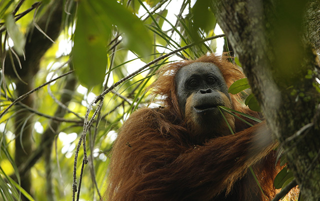 De neu entdeckte Tapanuli-Orangutan
