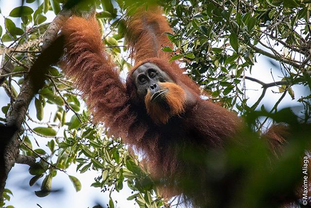 Der neu entdeckte Tapanuli-Orangutan