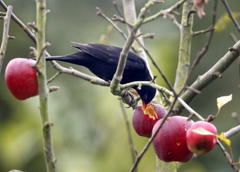Amsel im Apfelbaum im Winter