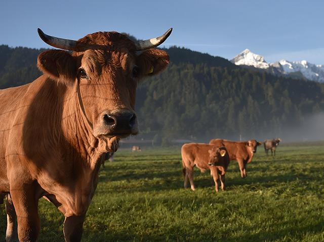 Eine braune Kuh schaut in die Kamera