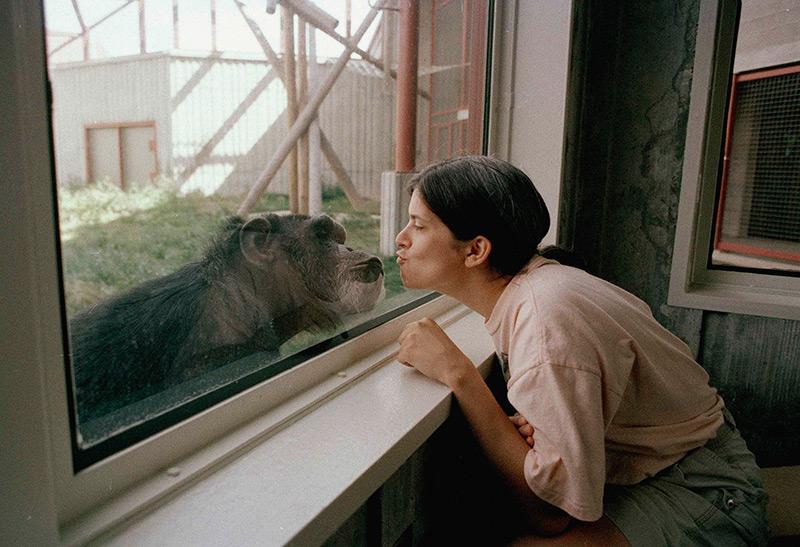 Schimpanse und Mensch Auge in Auge