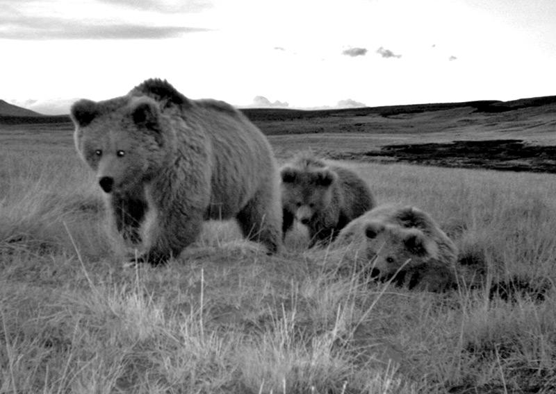 Himalaya-Braunbären: Ein Weibchen und zwei Junge in einer Kamerafalle im Norden Pakistans