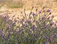 Der Wegerichblättrige Natternkopf ist in Südeuropa heimisch. In Südafrika - wie hier im Bild - wurde er eingeschleppt und kommt hier heute in großen Beständen vor.