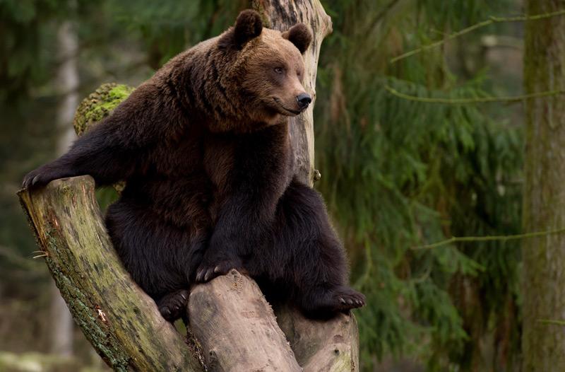 Braunbär in Wildpark