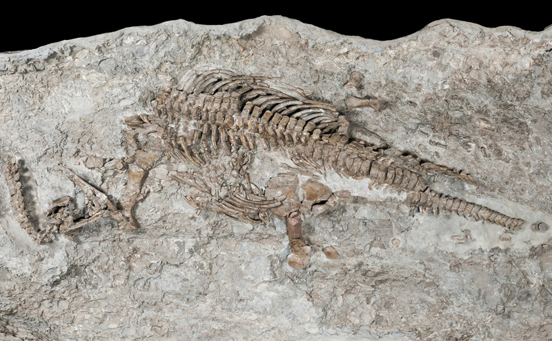 Skelett von Plesiosaurier
