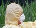 Ein mit Schutzanzug ausgestatteter Aktivist von Greenpeace schneidet gentechnisch veränderte Maispflanzen ab