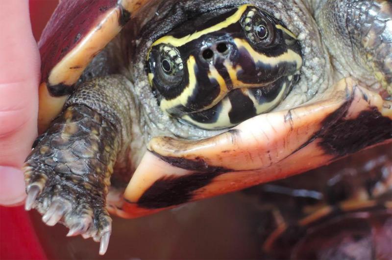 Schneckenfresser-Schildkröte //Malayemys isan//