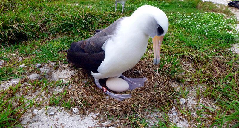Albatrosweibche mit Ei