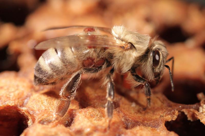 Von Varroamilben befallene Jungbiene