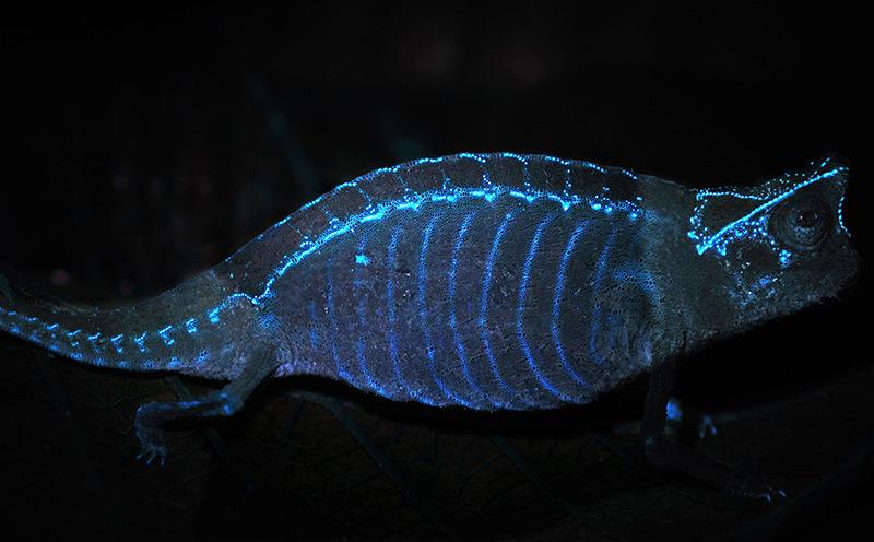 Fluoreszierende Muster auf einem Pantherchamäleon