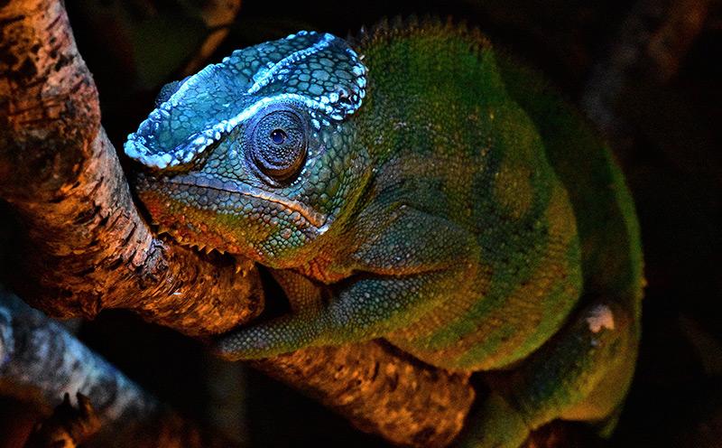 Fluoreszierender Kranz auf dem Kopf eines Pantherchamäleon