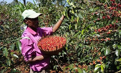 Kaffeebauer Bedhaso Denbi bei der Kaffeeernte