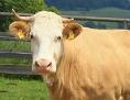 die blonde Kuh Yvonne auf einer Wiese