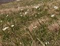 weiß blühender Pyrenäenhahnenfuß