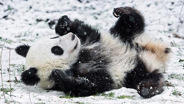 Pandas im Schnee