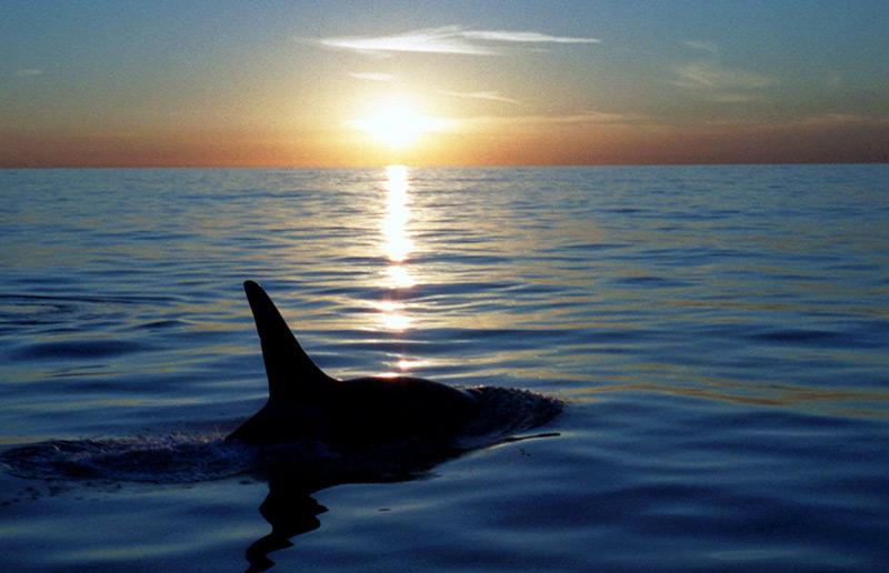 Orca im offenen Meer bei Sonnenuntergang