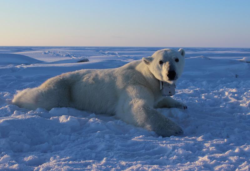 Eisbär liegt am Eis