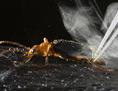 Bombardierkäfer feuert toxisches Gasgemisch ab