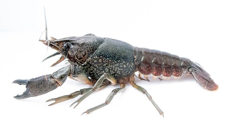 Marmorkrebs Procambarus fallax