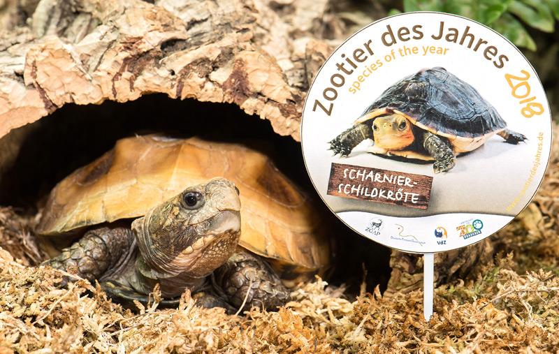 Scharnierschildkröte