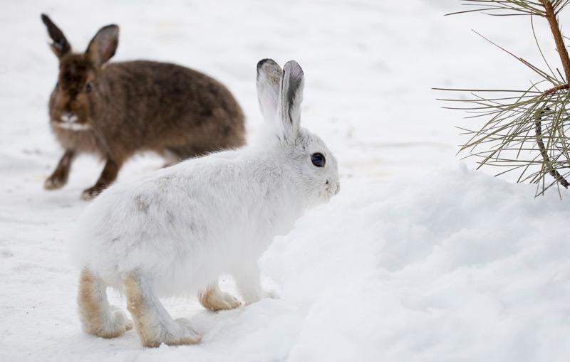 Weißer und brauner Schneehase