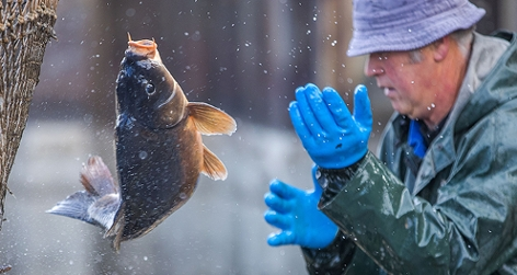 Ein Fischzüchter bei der Karpfenernte; Ein Fisch zappelt mitten in der Luft.
