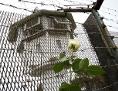 Eine weiße Rose vor einem Zaun mit Stacheldraht oben