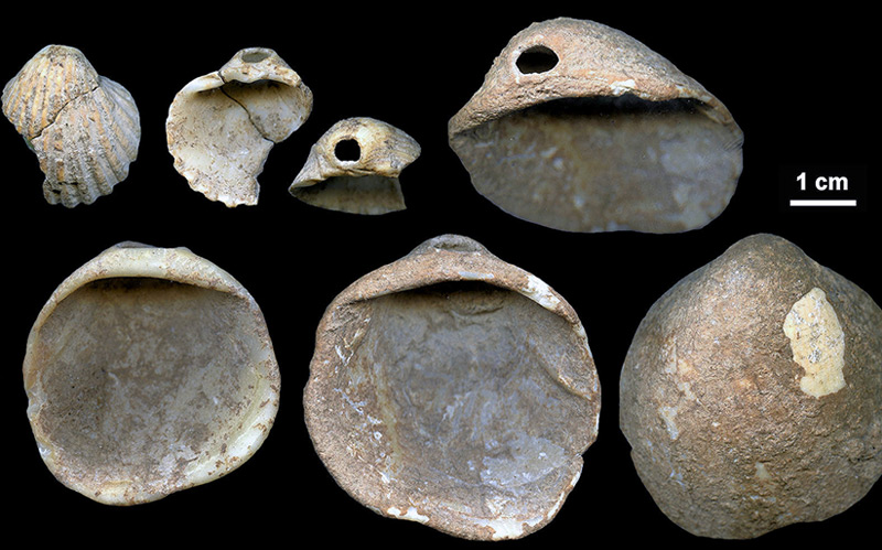 Die in einer Höhle bei Cartagena, im Südosten Spaniens gefundenen, 115.000 Jahre alten Muscheln