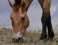 Przewalski-Pferd in der Mongolei