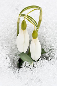 Schneeglöckchen bricht durch Schneedecke