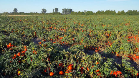 Tomate global - Pomodori aus China