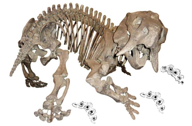 Skelett eines Dicynodonten