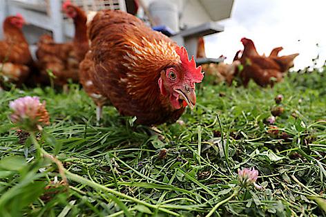 Ein Huhn läuft Grashalme pickend über eine Wiese