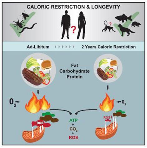 Grafik: Kalorienreduktion wirkt positiv auf die Zellkraftwerke