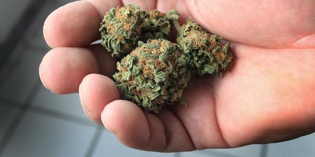 Hand mit getrockneten Cannabis Blüten