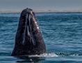Grauwal taucht im Wasser auf