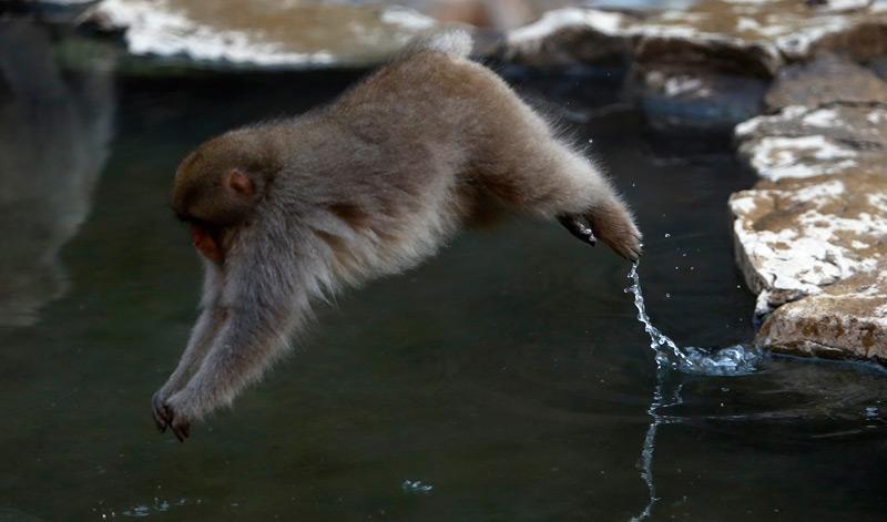 Schneeaffe springt ins Wasser