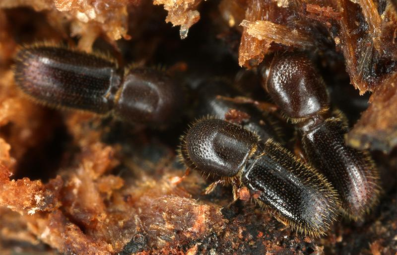 Die Käfer in ihrem Pilzgarten