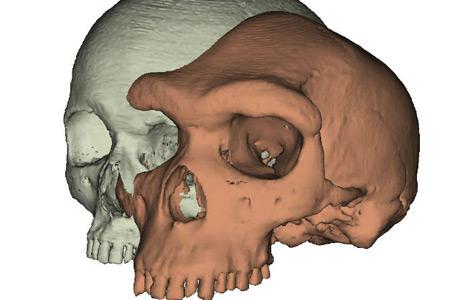 Schematischer Vergleich der Schädel eines modernen Menschen und des Homo heidelbergensis