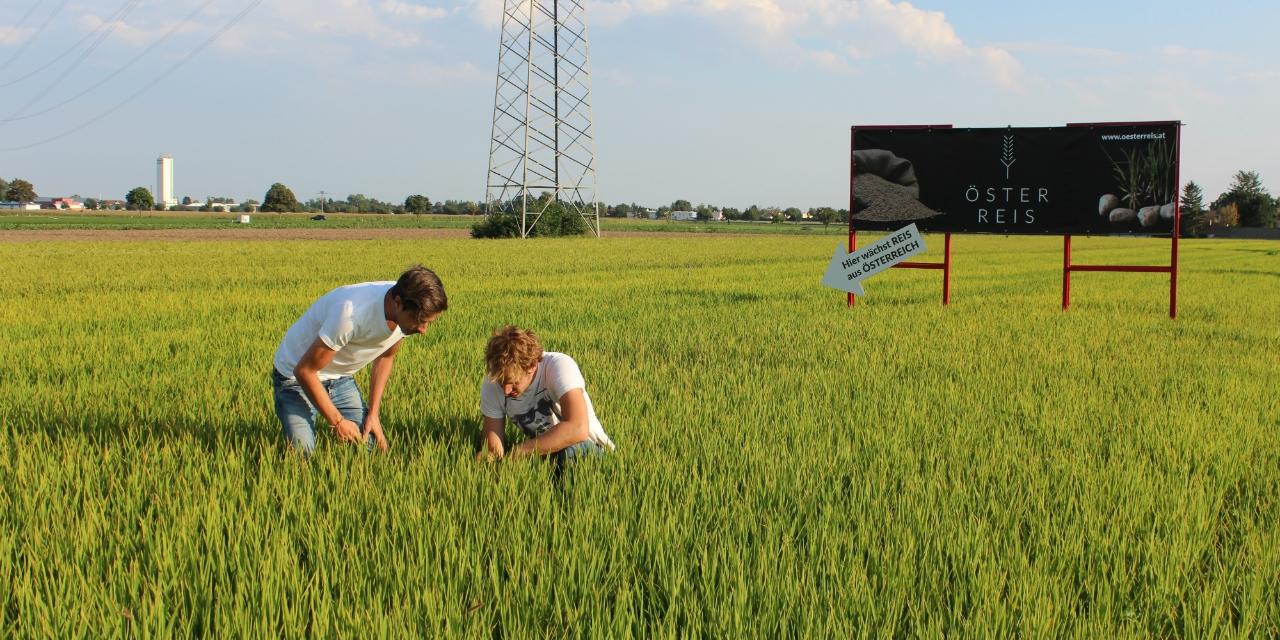Reisfeld im Sommer