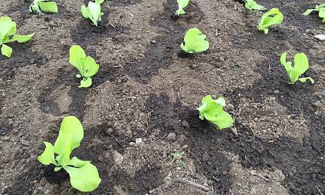Junge Salatpflanzen im Beet